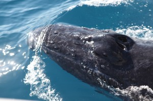Photo of whale taken from our boat - that's how close they came!